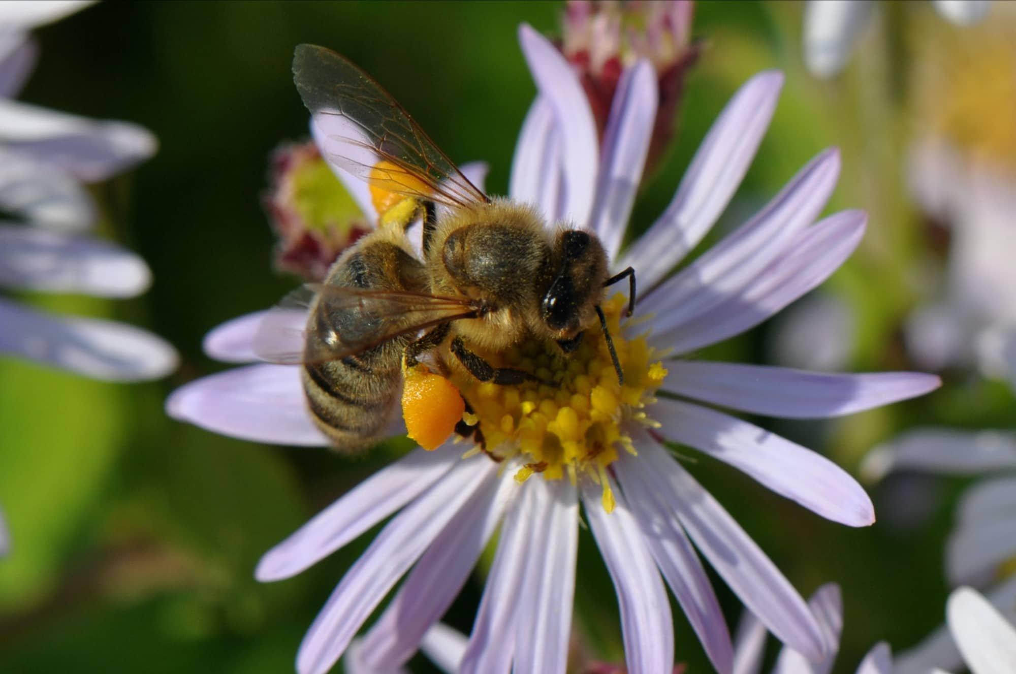 2011-09-25 Honingbij met stuifmeel-1.jpg