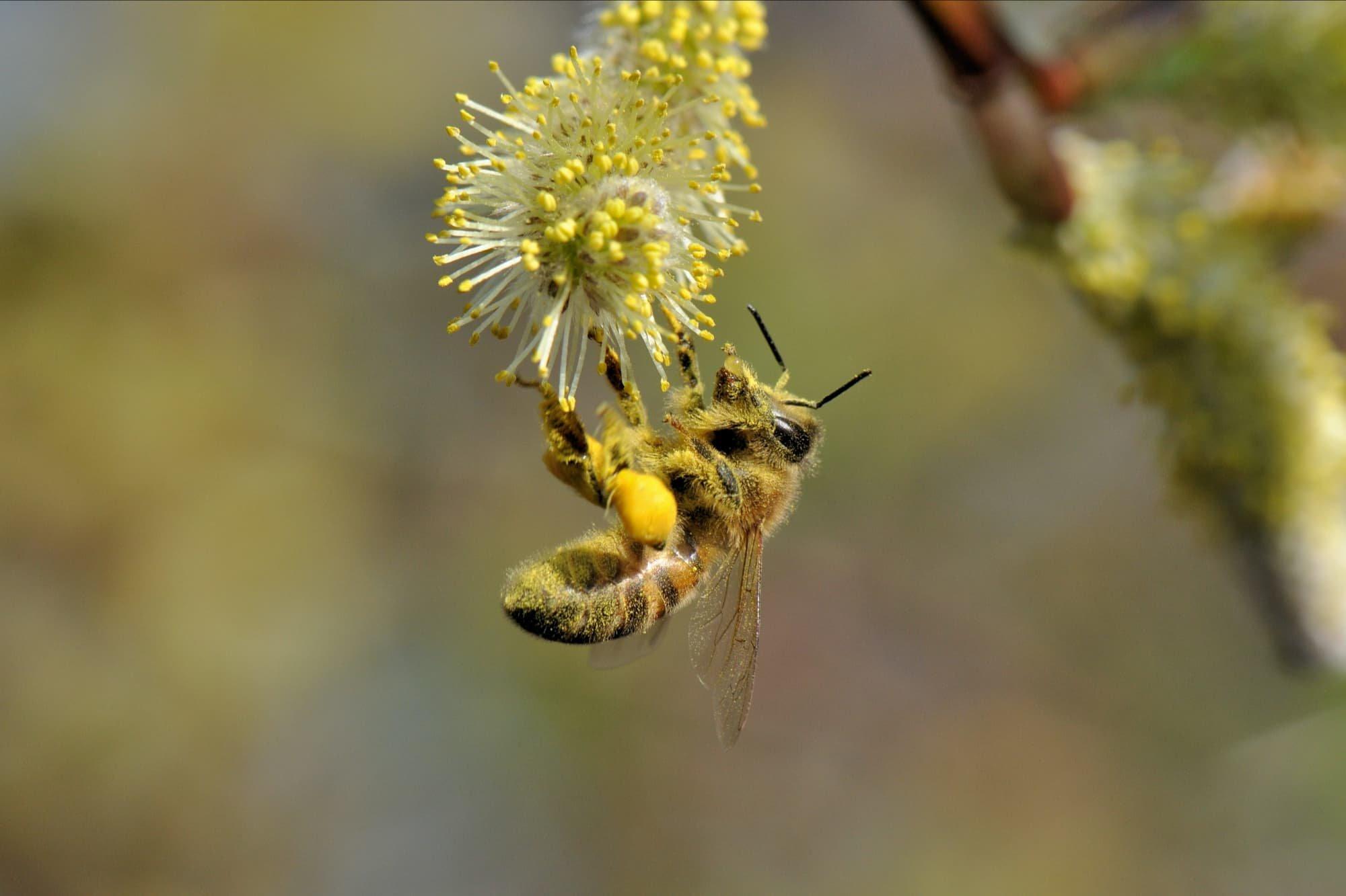 2014-03-10 Honingbij met klompjes-3 en nectar.jpg